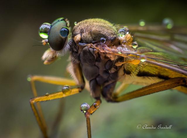 Snipe fly with rain, Panasonic DMC-GH3, Leica DG Macro-Elmarit 45mm F2.8 Asph. Mega OIS