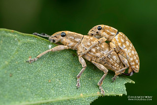 Weevils (Curculionidae) - DSC_6198