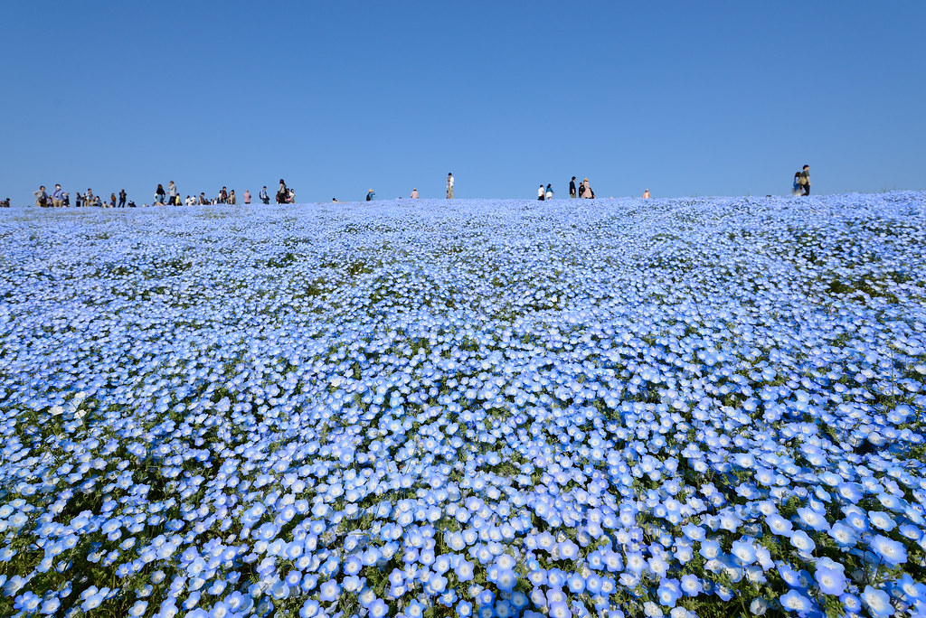 Nemophila ネモフィラ ひたち海浜公園