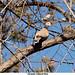 Eurasian-Collared-Dove-caption