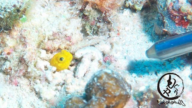 イエロージョーフィッシュ幼魚ちゃんは指示棒の先より小さかったのに1ヶ月で指示棒サイズまで成長してました♪