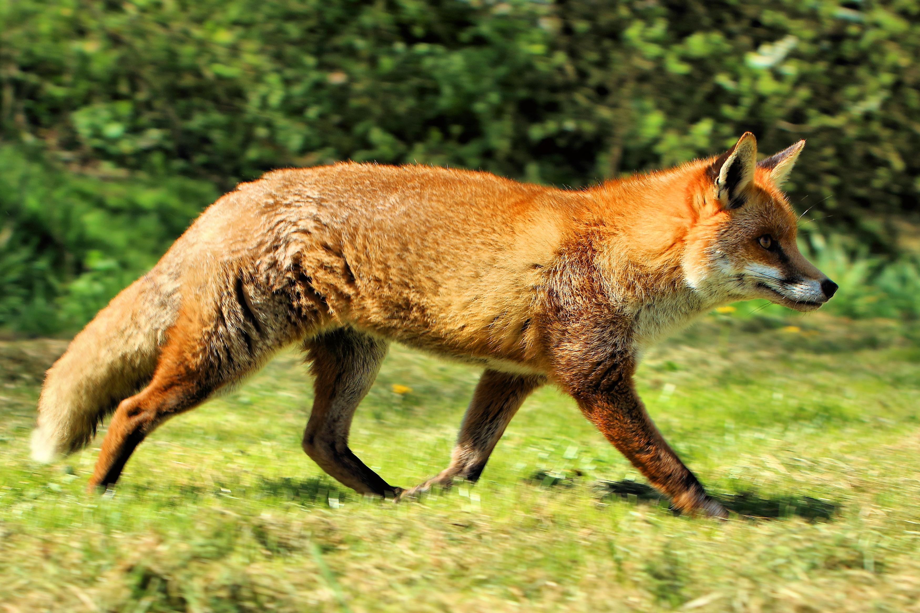 European red fox (V. v. crucigera) photographed at the British Wildlife Centre in Surrey, England. Photo taken on April 22, 2015.