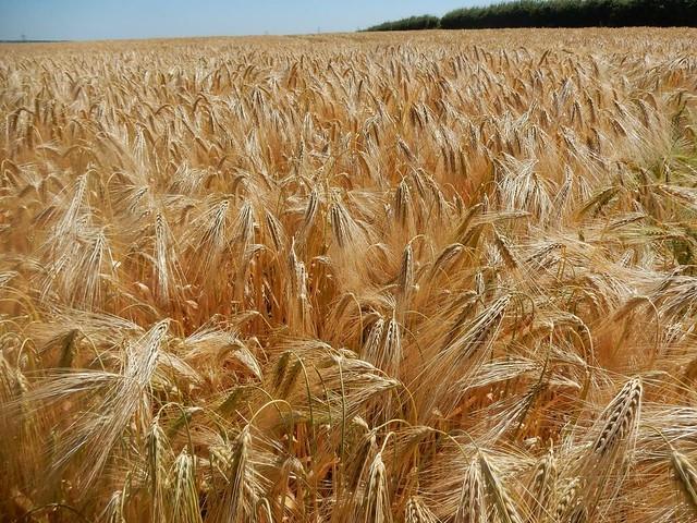 Barley, Nikon COOLPIX S9700