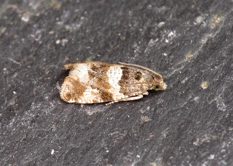 49.164 Thyme Marble - Celypha cespitana