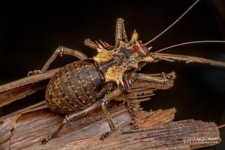 Armored katydid (Enyaliopsis petersi) - DSC_5561