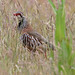 Red-legged Partridge (m)