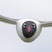 Franklin's Gull (Leucophaeus pipixcan) by Don Delaney