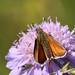 Essex skipper - Thymelicus lineola