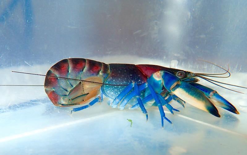 El cangrejo más bello del mundo 42555298954_a86edb258b_c
