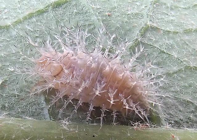 Lady beetle nymph