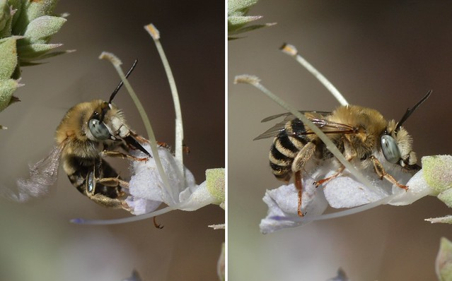 Wild bee opening a flower of native White Sage