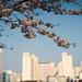 cherry blossom at Sincheondunchi - Helios 44-2 lens