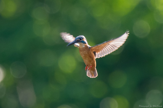 20180701-kingfisher-DSC_5805