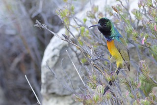 Orange-breasted Sunbird (Anthobaphes violacea), Rooi-Els, Western Cape, South Africa