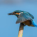 Kingfisher (juvenile) by gazclarke2555