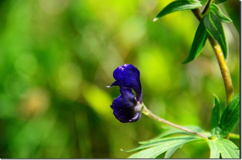 Monkshood flower (1)