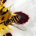 Syrphus torvus (f)