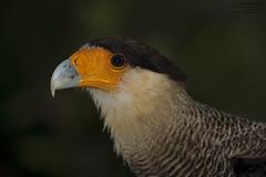 Southern Crested Caracara (Caracara plancus) Pantanal, Mato Grosso, Brazil 2017