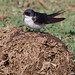 Swallow on Elephant Dung.