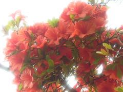 Azalea in Koishikawa Botanical Gardens