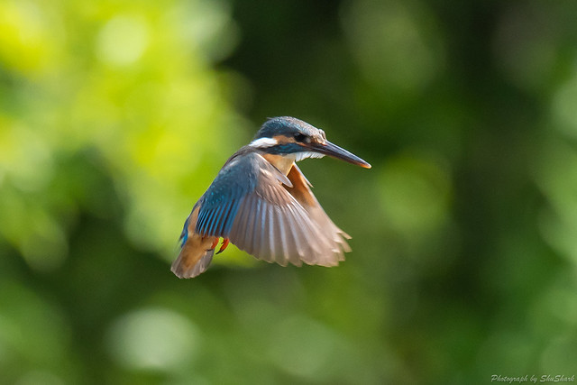 20180630-kingfisher-DSC_5473