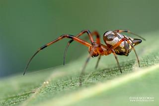 Big-jawed spider (Leucauge medjensis) - DSC_5705