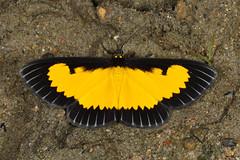 Saffron Playboy (Xanthiris flaveolata)