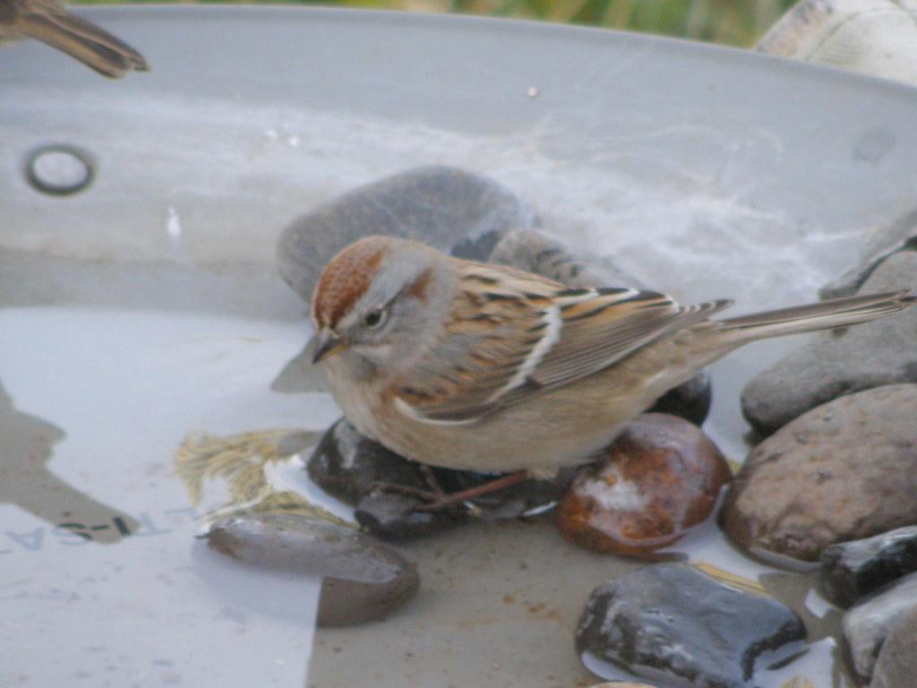 PB045333...... american tree sparrow
