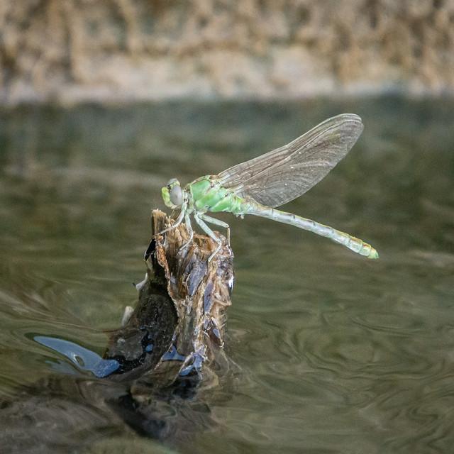 newly emerged dragonfly