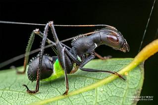 Ant-mimic katydid nymph (Eurycorypha sp.) - DSC_6144