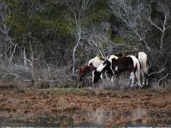 Chincoteague National Wildlife Preserve