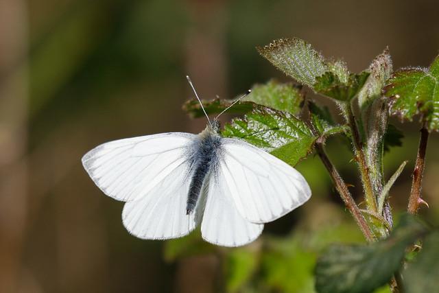 Green-veined white m (Catcott Heath)