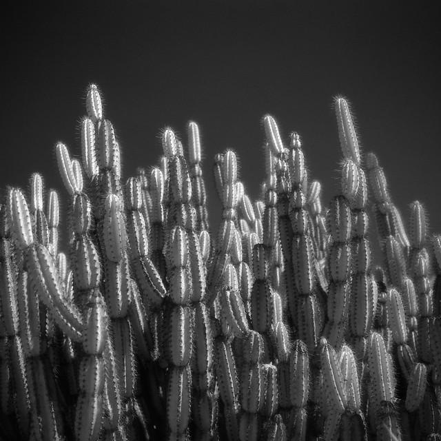 infrared cacti. san marino, ca. 2018.