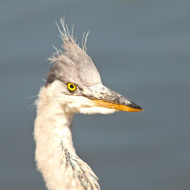 Headshot (young heron)