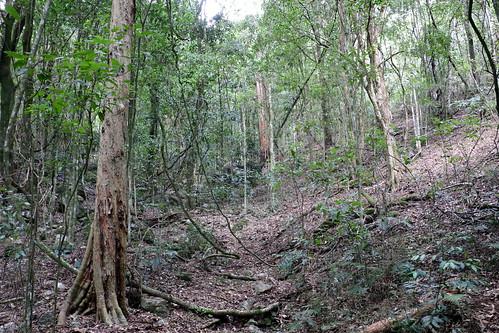 Shatterwood (Backhousia sciadophora)