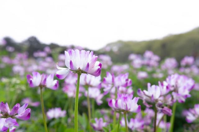 Photo:蓮華