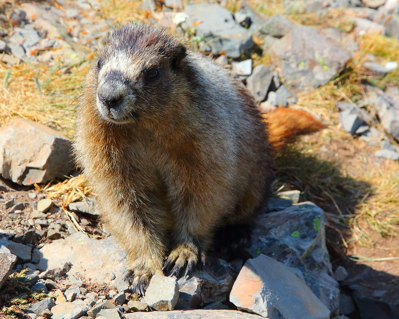 IMG_4968 Hoary Marmot at Triple Divide Pass, Glacier National Park