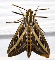 Jul10,2018 DSC08238 White-lined Sphinx Moth, Hyles lineata 作者 terrygray