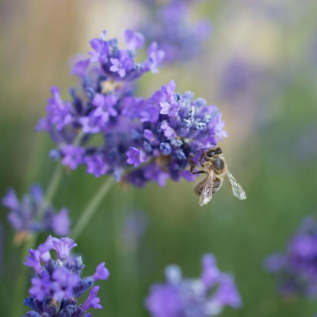 100x 23/100 Bee and Lavender, Nikon D7200, AF-S DX Micro Nikkor 40mm f/2.8G