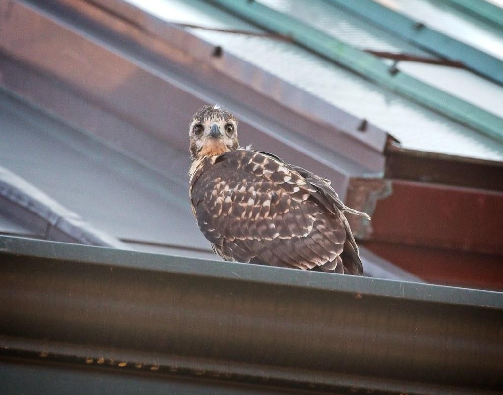Tompkins fledgling A2