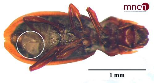 Discophrya ordesae en Hydraena deli