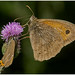 White letter Hairstreak And Meadow Brown.