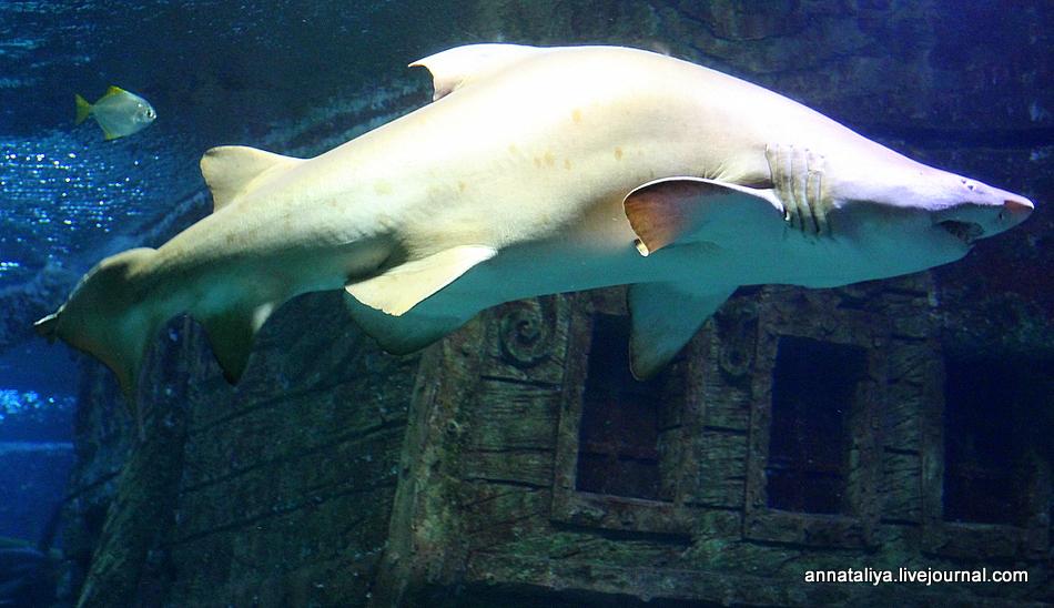 акула воронеж 6