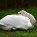 Bewick's Swan Cygnus columbianus