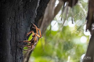 Wandering spider exuviae (Ctenidae) - DSC_5366