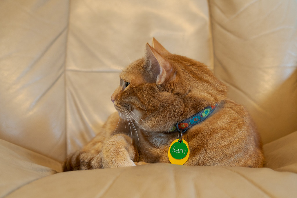 Our cat Sam wearing a collar with his name on it in large letters