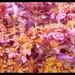 Pink Bells in Garden