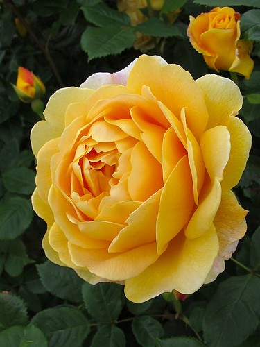 Flowers And Garden Ideas : Golden Celebration