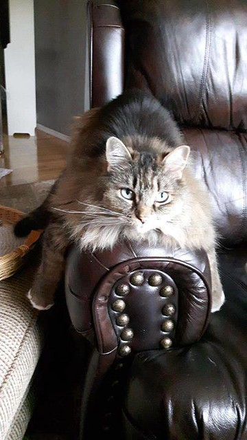 Lost still missing dlh tabby cat in #Edgemont area! 403 374-0477. Pls RT watch share help to find Jingles YYC Pet Recovery shared Evelyn Greisinger's post. Repost.. Jingles is still missing from the Edgemont area! She's an indoor cat and will be in a frig