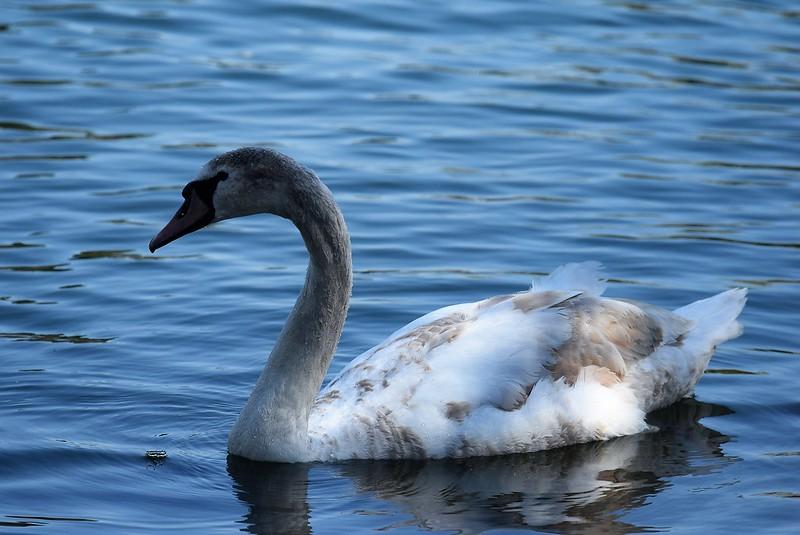 Swans 17.04 (5)